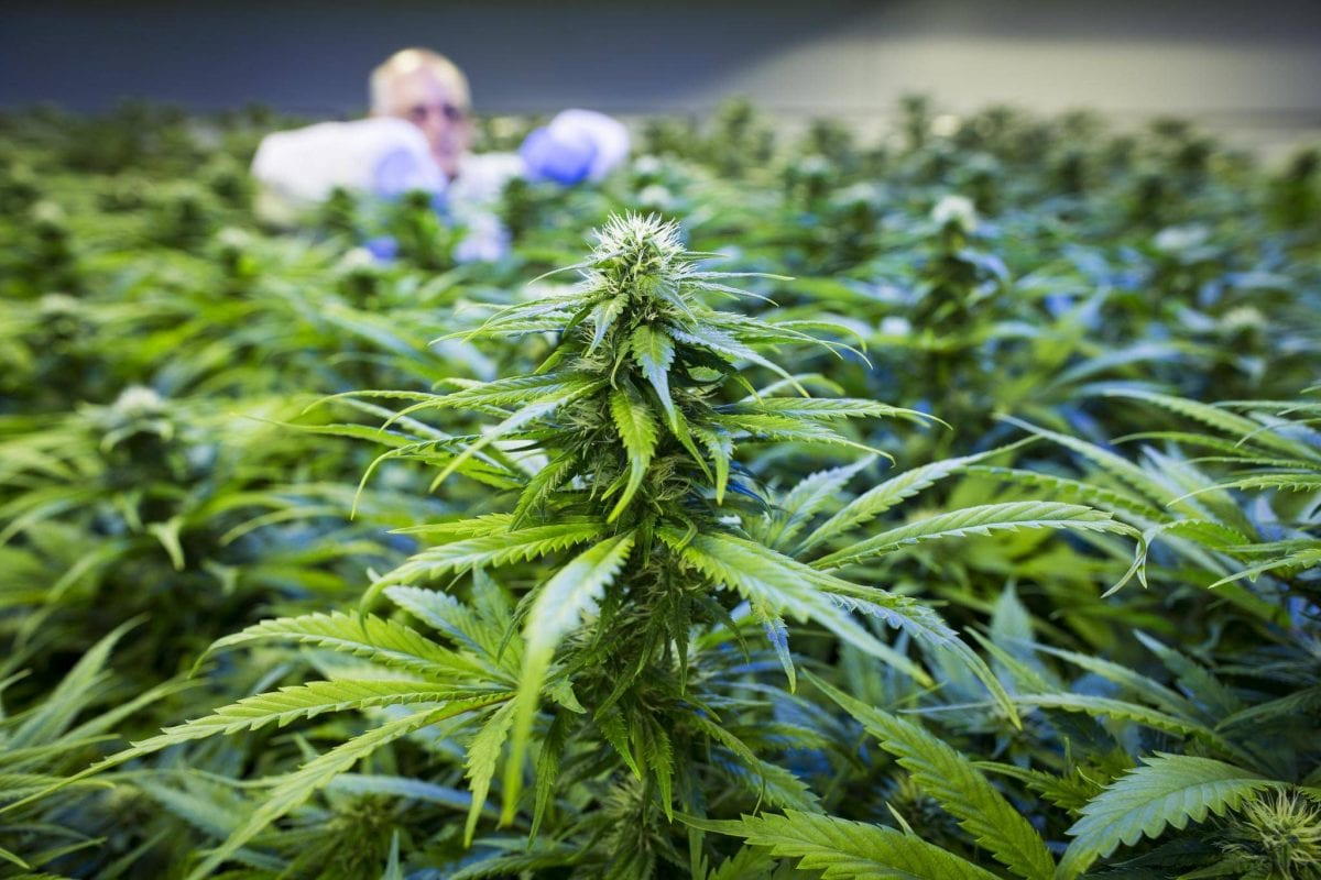 worker cultivating cannabis plants
